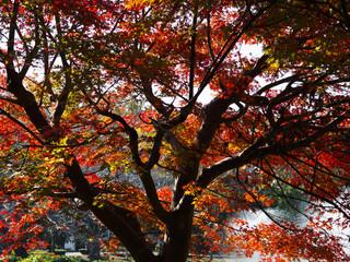 紅葉するモミジの木