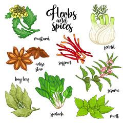 Spices and herbs vector set to prepare delicious and healthy food. Colored botanical illustration on white background with mustard, bay leaf, anise star, saffron, sesame, fennel, mint, spinach.