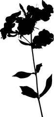Phlox isolated black silhouette on white background
