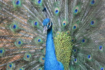 Peacock is displaying its plumage