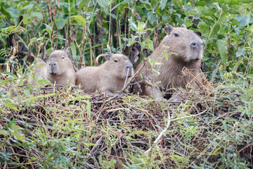 capybaras family on the river bank, nature habitat of northern pantanal, biggest rondent, wild america, south american wildlife, beauty of nature, giants