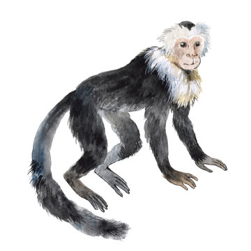 Capuchin monkey isolated on a white background, watercolor