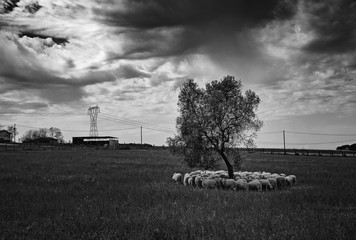 Roman countryside. a flock of sheep takes shelter under a tree, before it starts to rain.