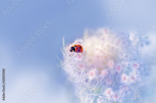 summer outdoors wallpaper. Ladybug Close-up On A Fluffy Flower Spring Or Summer Outdoors Macro Soft Focus. Wallpaper