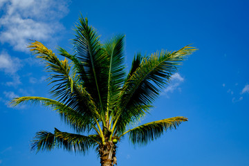 coconut tree leaf blue sky for background and backdrop use