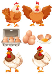 Chickens and fresh eggs
