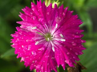 Pink Vinca Flower Blooming