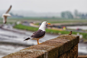 Seagull at Mont Saint Michel in Normandy at Manche France