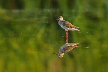 Spotted Red Shank with Reflection