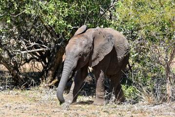 Junger Elefant im Kruger Nationalpark - Südafrika