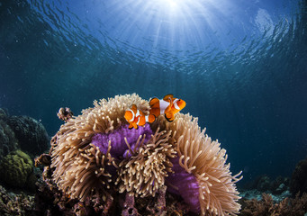 anemone and clown-fish