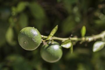 Naranjas verdes madurando en un naranjo.