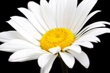 Camomile, white daisy flower isolated on black background