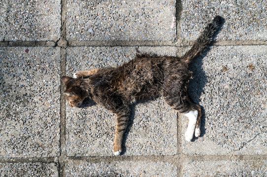 Dead cat on walkway