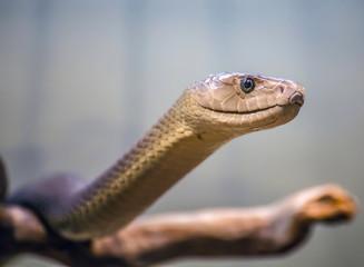 Black mamba portrait / snake / reptile / dangerous / poisonous