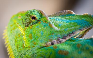 Chameleon Macro Reptile