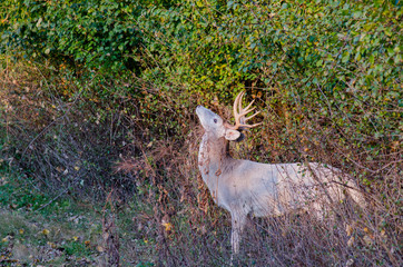 Wall Mural - Piebald Whitetail Deer Buck