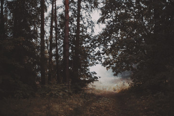 Misty morning in the forest walkway which exits to bright meadow, filled with fog, pine trees, grass everywhere, autumn or summer