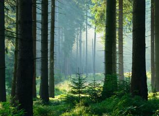 Unberührter nebliger naturnaher Fichtenwald im Gegenlicht, Nationalpark Harz