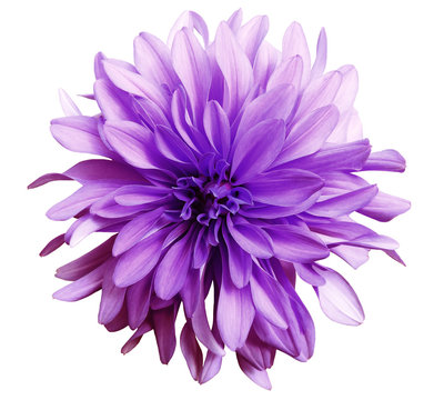 pink flower on a white   background isolated  with clipping path. Closeup. big shaggy  flower. Dahlia..