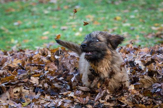 Briard Puppy in Autumn