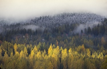 larches in the autumn Sesto's forest,South Tyrol, Italy