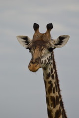 Close up of a head and part of the neck of a Rothschild's giraffe facing the camera against a grey sky. Pholographic in natural light in Kenya Africa.