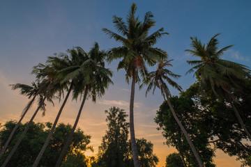 tree coconut