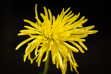Thin-leaved Yellow Flower