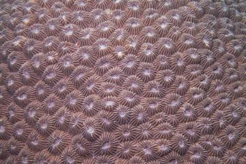Stony coral, Blumen-Sternkoralle (Diploastrea heliopora)