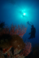 Reef and a diver