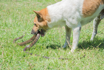 dog fighting with  snakes