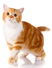 Scottish straight cat standing on a white background