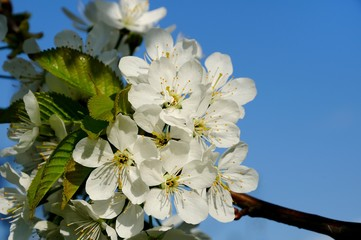 blossoming sweet cherry branch