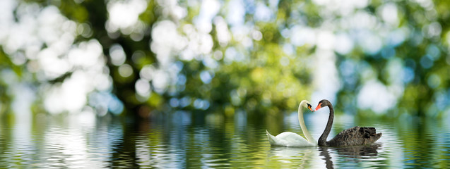 The image of two swans on the water.