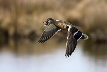 canard col vert volant au dessus d'un étang. Anas platyrhynchos