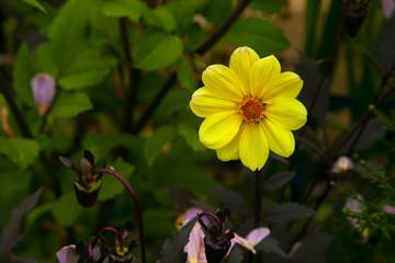 dahlia georgin veselye rebjata on background green grass, yellow color