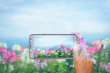 Hand holding smart phone focused on Pink And White Spider flower on blurry background.