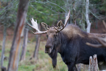 Bull moose (Alces alces) poses in the forest in autumn