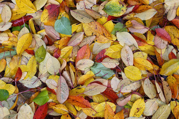 Colourful autumn cherry leaves on ground. Texture. Background