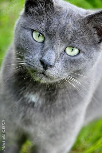 chat gris au yeux verts photo libre de droits sur la. Black Bedroom Furniture Sets. Home Design Ideas