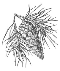 Hand drawing pine cone on fir branch with needles.