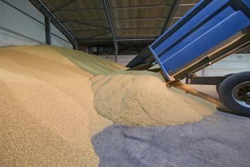Trailer Unloading Wheat Into Grain Store