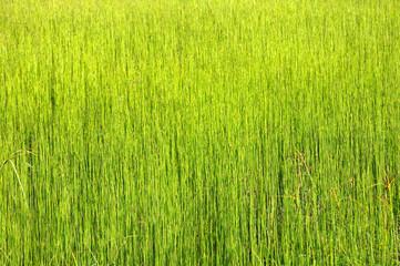 Uniform green grass background