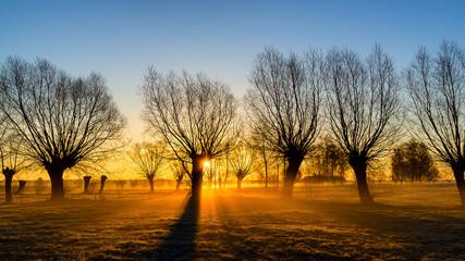 Wierzby w porannym słońcu