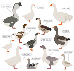 Poultry farming. Goose breeds icon set. Flat design