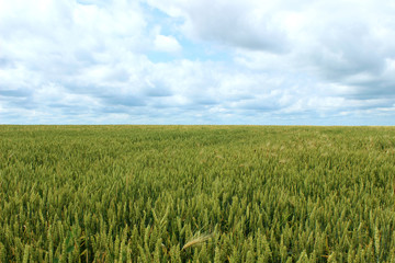 Green immature wheat. A field of wheat. Many grain plants.
