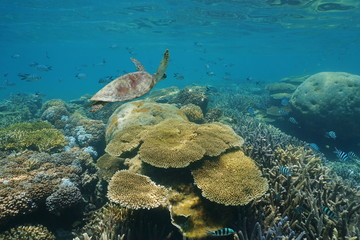 Shallow coral reef underwater with a green sea turtle and fish, New Caledonia, south Pacific ocean