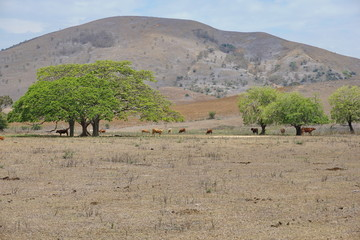 Dry lands with some cows and trees, Boulouparis, New Caledonia, south Pacific