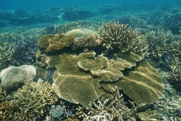 Healthy coral reef underwater with several species of hard corals, New Caledonia, south Pacific ocean